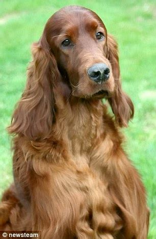 irish setter national dog show 2015 irish setter jagger who died after crufts was poisoned