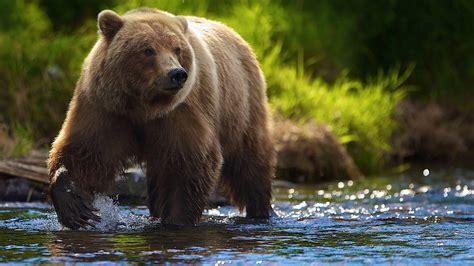 brown bear river  search  food hd wallpaper