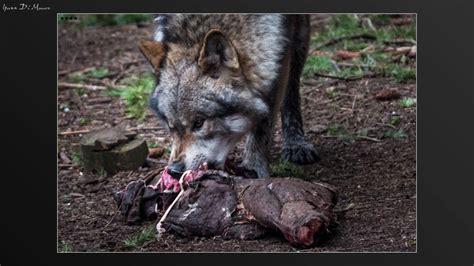Lop Noir loup gris europ 233 en et loup noir de mackenzie