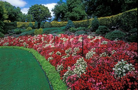 Garden Begonia A Royalty Free Image Of Garden Bank Of Begonia