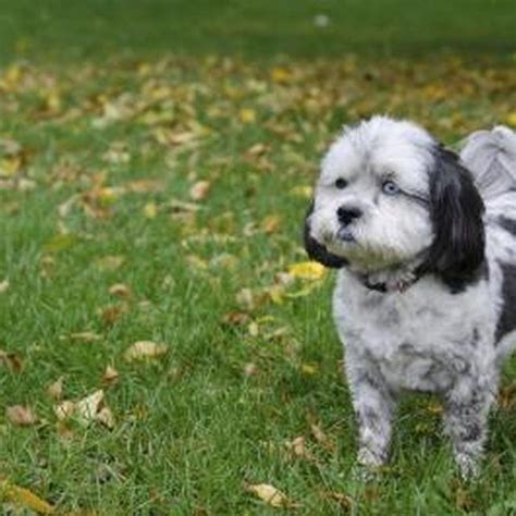 curly hair shih tzu 17 best images about shihpoo on shelters pets and shih poo