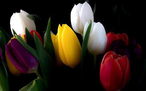 Wallpaper Black Flower 5m tulips flowers bouquet black background wallpapers hd