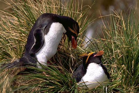 the birds nest penguin macaroni penguin travelwild expeditions