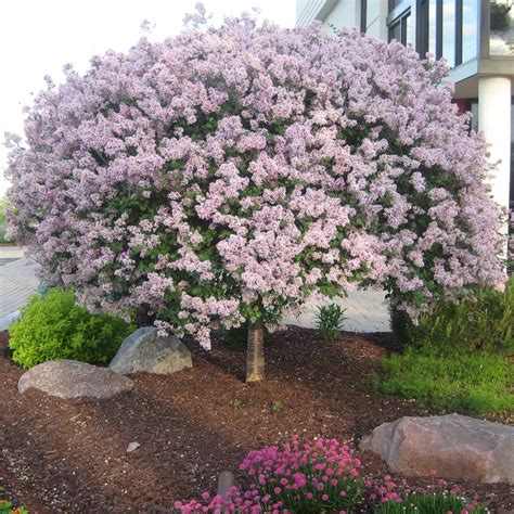 lilac tree information the gallery for gt purple flowering tree zone 6