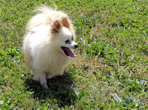 how much should a pomeranian weigh the happy woofer pomeranian delaware breeder puppies for sale