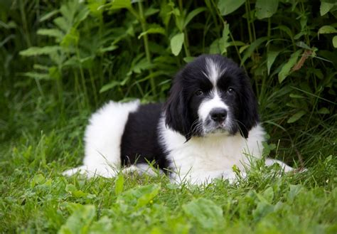puppy finders newfoundland puppies and newfoundland breeders autos post
