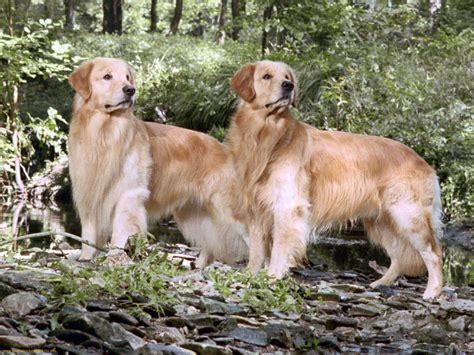 pictures of golden retrievers golden retrievers harleyskywalker wallpaper 35465714 fanpop
