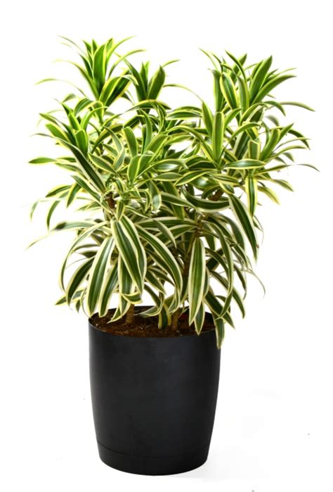 indoor plants india song of india