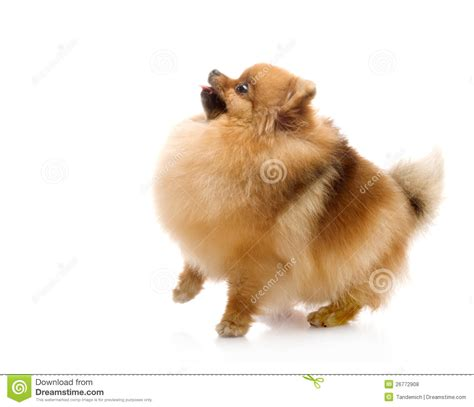 pomeranian spitz puppies spitz pomeranian royalty free stock photos image 26772908