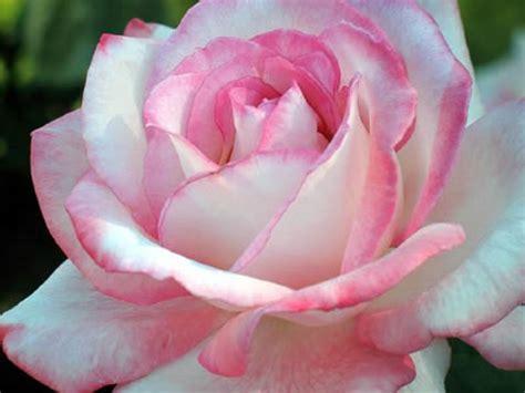 imagenes de rosas muy hermosas un blog muy especial para todos im 193 genes de flores bonitas