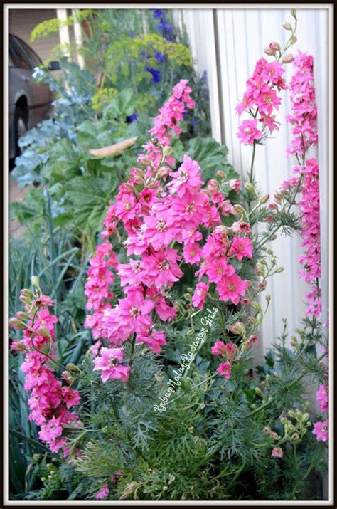 Benih Ubi Ungu kebun bahagia bersama benih bunga imperial larkspur