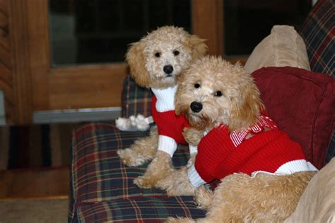 mini goldendoodles dayton ohio kahne with liz my mini goldendoodle