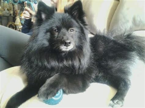 keeshond pomeranian mix pom kee breed information and pictures