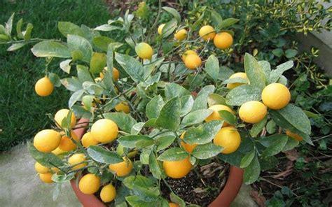 potare limone vaso potare limone potatura come e quando potare il limone