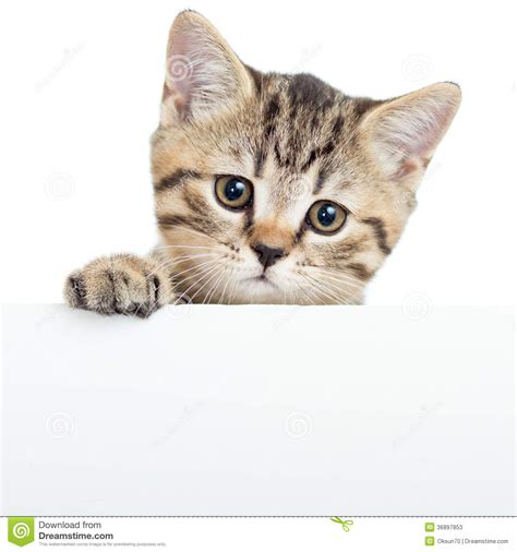 Cat Kitten Hanging Over Blank Poster Or Board Stock Photos