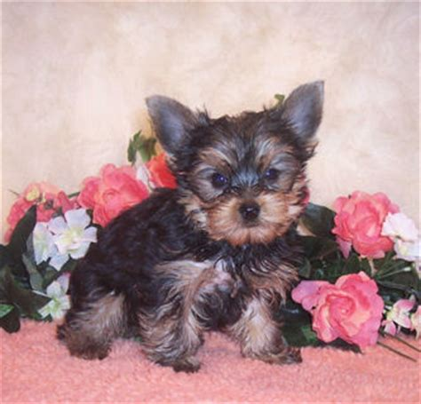 teacup yorkie breeders in ky dogs independence ky free classified ads