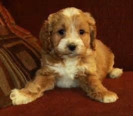 Cute Cockapoo Puppies » Home Design 2017