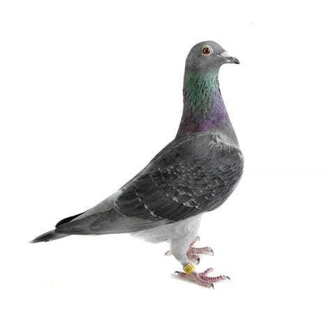 check homing pigeon on white the pigeon photographer
