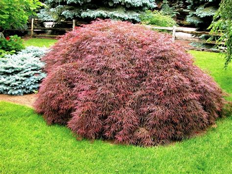 acer palmatum dissectum tamukeyama at maturity 10 quot x 12 quot weeping for houston plant