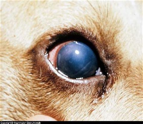 eye diseases in dogs a guide to eye diseases in canines