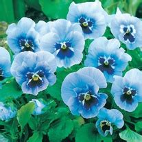 Mr Fothergills Pansy Frou Frou Mixed summer flowering pansy seeds from mr fothergill s