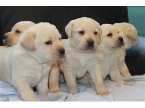 golden retriever puppies price in kerala great dane puppies sale low price clasf