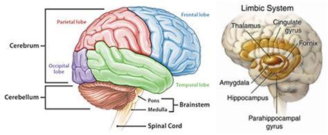 belajar anatomi dan fungsi otak manusia