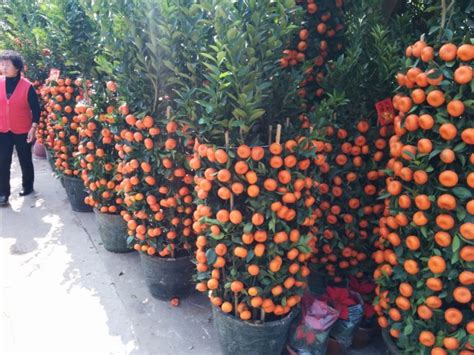 new year oranges with leaves new year in shenzhen the world electronics capital