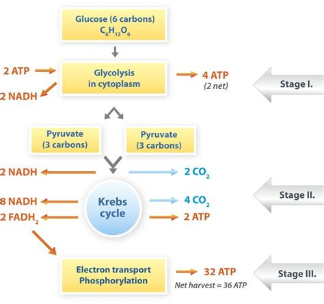 how photosynthesis yields sugar concept map cellular respiration respiratory system pinterest