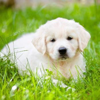 golden retriever age problems golden retriever breed information characteristics heath problems dogzone