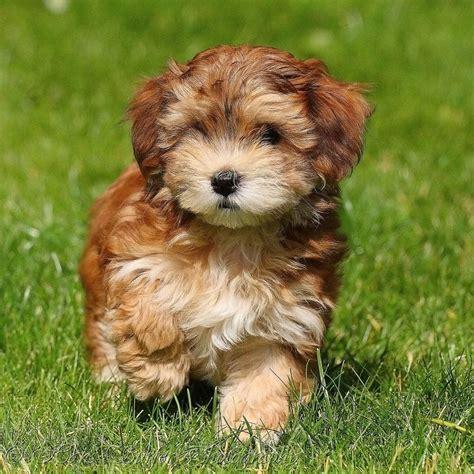 havanese puppies cute pinterest
