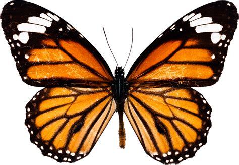 imagenes de mariposas unicas image gallery imagenes de una mariposa