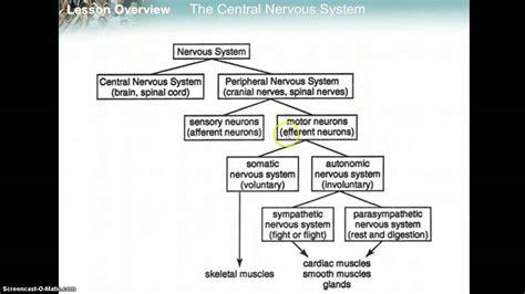 flow diagram of nervous system nervous system flowchart