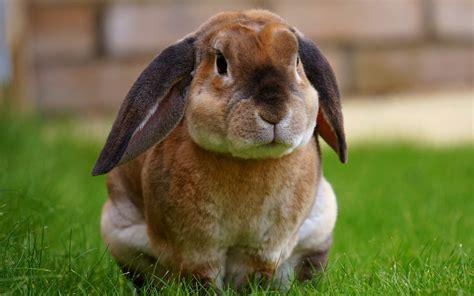 imagenes de animales jpeg c 243 mo saber si un conejo es macho o hembra diferencias