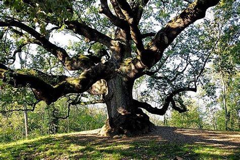 albero da giardino sempreverde albero da giardino alberi latifolie alberi da giardino