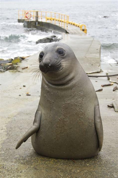 Seal Pop Seal Jus elephant seals mirounga angustirostris at race rocks race rocks