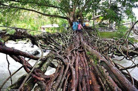 what is root bridge what would health and safety say the amazing indonesian