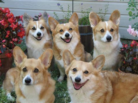 types of small house dogs sonic wallpaper psy pasterskie welsh corgi pembroke ogr 243 d