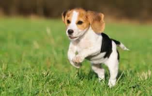 pocket beagle info temperament puppies