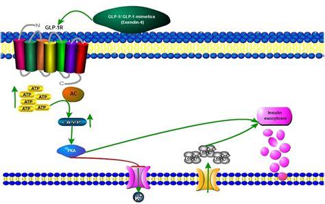 protein 4 1r frontiers insulin as a bridge between type 2 diabetes