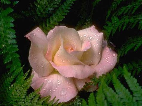 immagini fiori per desktop sfondi per desktop fiori
