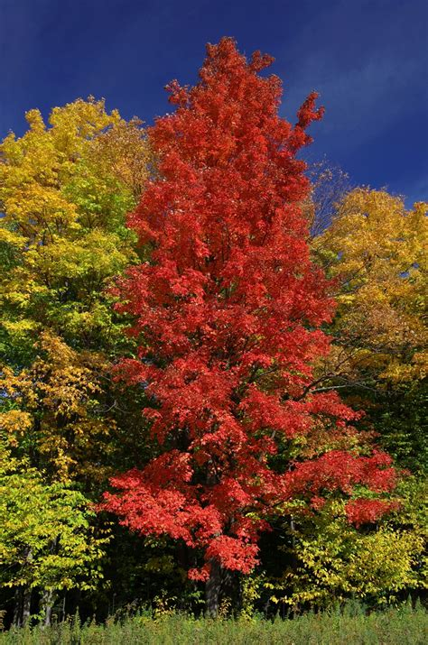 maple tree not questions answers maple leaves forever