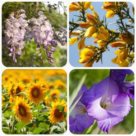 girasole significato dei fiori significato dei fiori mamma felice