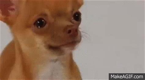 sad puppy gif sad gif sad chihuahua discover gifs