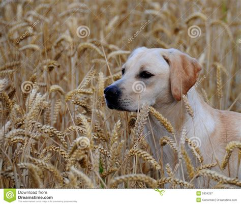 9 month puppy labrador puppy 9 months royalty free stock photography image 5934257