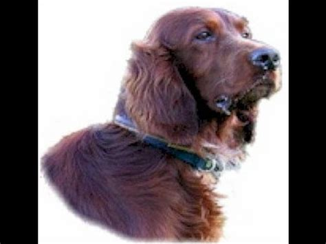 irish setter dog youtube irish setter dog lovers guide youtube