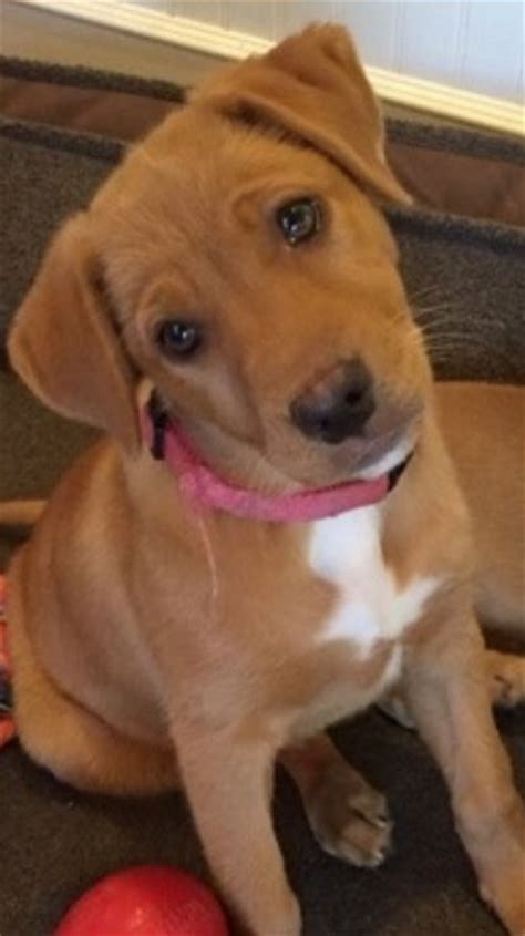 golden retriever mixed with pitbull 19 mixed breed dogs you won t believe are real