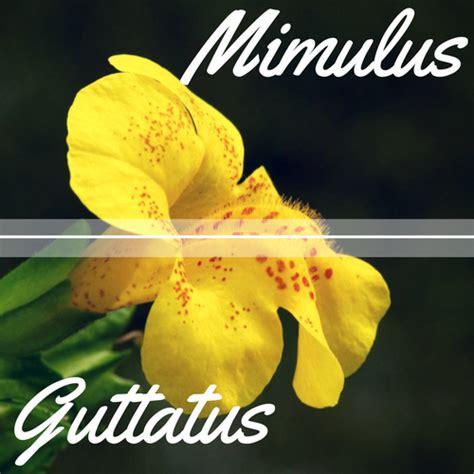 fiori di bach paura mimulus fiore di bach per la paura delle cose mondo
