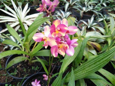 jual tanaman bunga hias anggrek tanah candy stripe