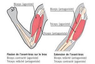 le bras muscles et impulsions